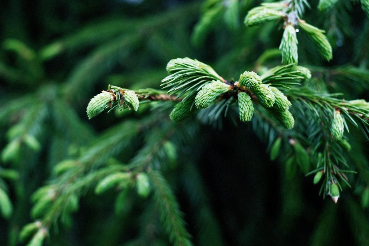 How Conifers Maintain Their Green Hue